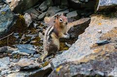 Esquilo em seu habitat natural Fotografia de Stock Royalty Free