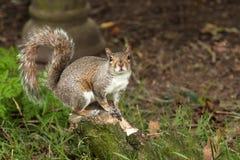 Esquilo em um log Fotos de Stock Royalty Free