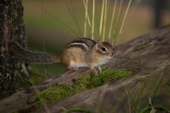 Esquilo em um log Foto de Stock Royalty Free
