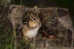 Esquilo em um log oco Fotos de Stock Royalty Free