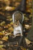 Esquilo em um parque Imagem de Stock Royalty Free