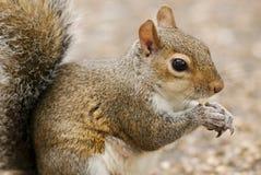 Esquilo em um parque de Londres Imagens de Stock Royalty Free