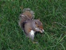 Esquilo em um parque em Washington D C comendo uma porca, 2008 Foto de Stock Royalty Free
