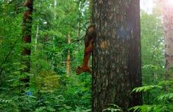 Esquilo em um pinheiro Fotos de Stock Royalty Free
