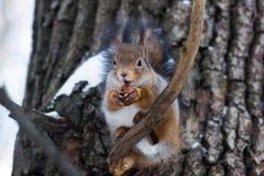 Esquilo em um ramo Imagens de Stock Royalty Free