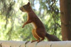 Esquilo em um ramo Parque de Pavlovsky A cidade de Pavlovsk fotos de stock royalty free