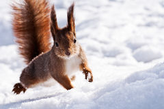 Esquilo em um salto Fotos de Stock
