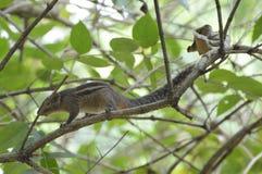Esquilo em uma árvore Imagens de Stock