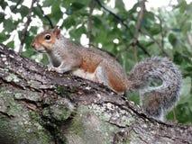 Esquilo em uma árvore imagens de stock royalty free