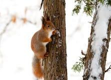 Esquilo em uma árvore Foto de Stock Royalty Free