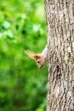 Esquilo em uma árvore Fotos de Stock Royalty Free