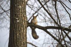 Esquilo em uma árvore com interesse o fotógrafo e o levantamento Fotografia de Stock Royalty Free