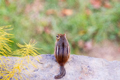 Esquilo em uma borda Fotografia de Stock