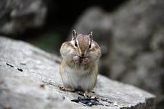 Esquilo em uma rocha Imagem de Stock Royalty Free