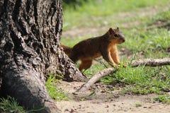 Esquilo empoleirado Fotografia de Stock