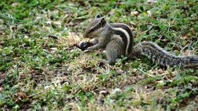 Esquilo encontrado comer no parque foto de stock royalty free