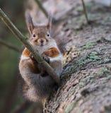 Esquilo engraçado Fotos de Stock