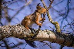 Esquilo engraçado em um ramo Fotografia de Stock Royalty Free