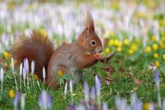 Esquilo entre crocusses Imagem de Stock