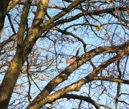 Esquilo entre ramos do carvalho enorme no céu azul do inverno Imagens de Stock