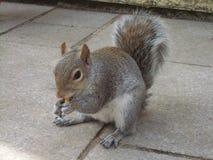 Esquilo espesso que come um amendoim foto de stock
