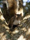 Esquilo estrelando Imagem de Stock Royalty Free