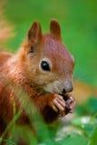 Esquilo euro-asiático vermelho pequeno Fotografia de Stock Royalty Free