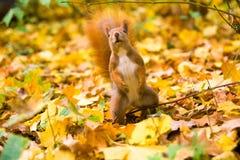Esquilo euro-asiático vermelho pequeno Imagens de Stock