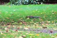 Esquilo furtivo Imagem de Stock Royalty Free