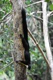 Esquilo gigante preto Foto de Stock