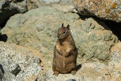 Esquilo gordo Imagens de Stock Royalty Free