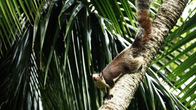 esquilo grande Fotografia de Stock