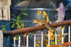 Esquilo indiano da palma (palmarum de Funambulus) no trilho de um telhado entre houseplants Foto de Stock