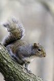 Esquilo inquisidor Imagem de Stock
