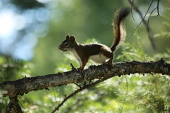 Esquilo irritado Fotografia de Stock Royalty Free