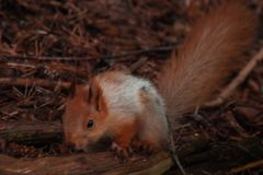 Esquilo macio alaranjado na floresta que senta-se no ramo seco Sciurus, Tamiasciurus imagem de stock