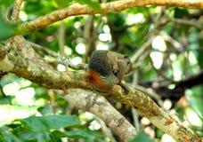 Esquilo malaio Fotografia de Stock Royalty Free