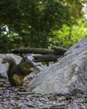 Esquilo minúsculo que come sementes no parque imagens de stock royalty free
