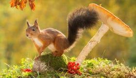 Esquilo modelo Imagem de Stock