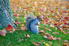 Esquilo, Montreal, Quebeque, Canadá Foto de Stock