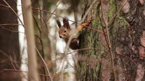 Esquilo na árvore video estoque