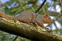 Esquilo na árvore Fotos de Stock Royalty Free