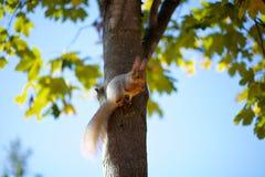 Esquilo na árvore Foto de Stock