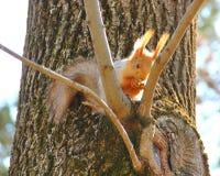 Esquilo na árvore Imagens de Stock Royalty Free