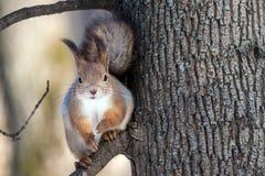 Esquilo na árvore Fotografia de Stock Royalty Free