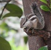Esquilo na árvore bonito certamente imagem de stock