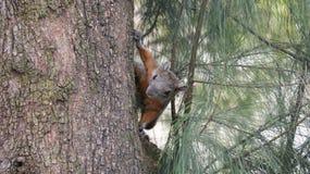 Esquilo na árvore do ocote no Gym fotografia de stock