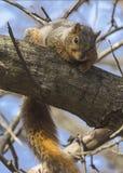 Esquilo na filial Imagens de Stock Royalty Free