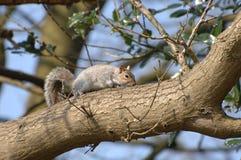 Esquilo na filial de árvore Foto de Stock