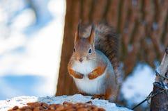 Esquilo na floresta imagens de stock